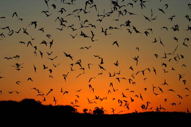Bats-in-sunset-2