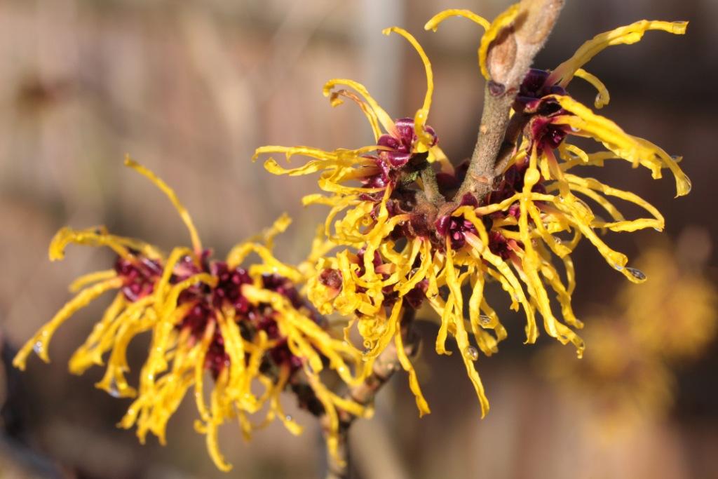 Witch_Hazel_In_Flower_In_Garden_3._Hampshire_UK