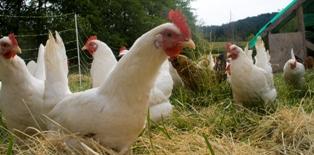 Free_range_chicken_flock