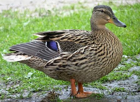 female_mallard_duck_j2