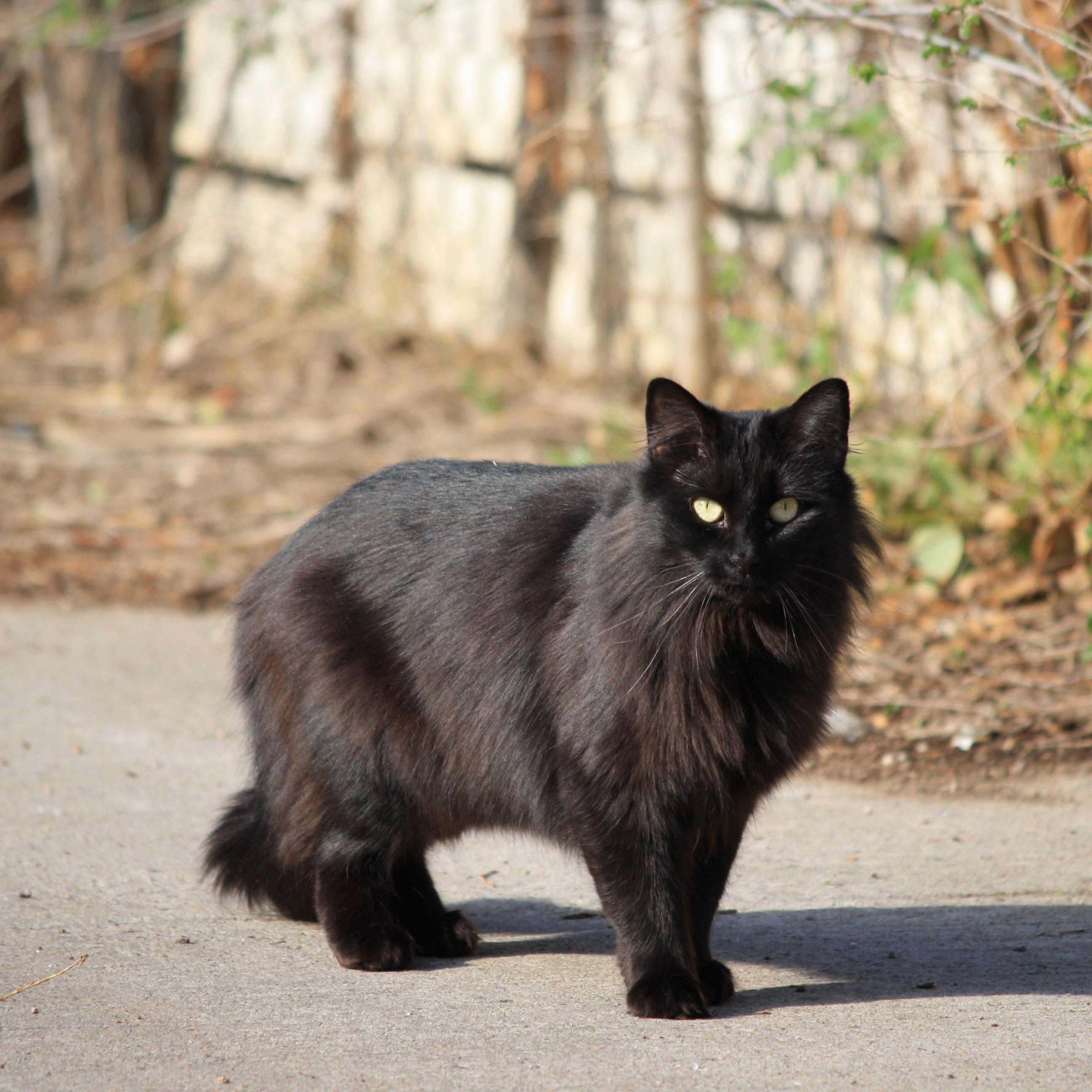 black-cat-longhaired